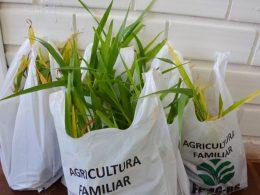 Secretaria Municipal de Agricultura e Emater/RS- Ascar distribuem mudas para produtores de leite
